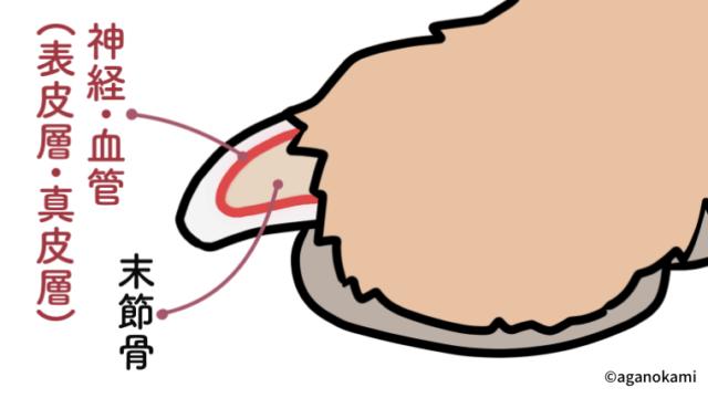 犬の爪の構造