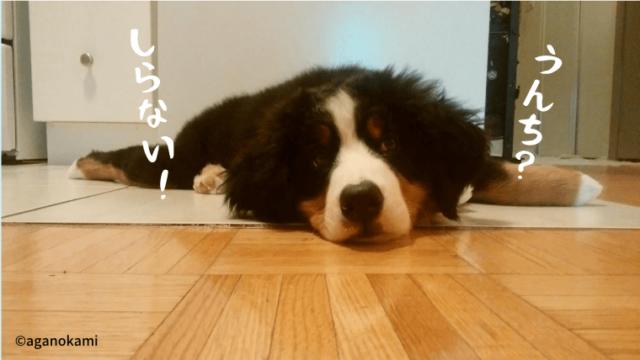 寝そべるバーニーズマウンテンドッグの子犬