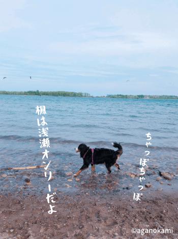 湖で遊ぶバーニーズマウンテンドッグ
