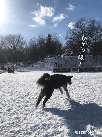 雪遊びをするバーニーズマウンテンドッグ