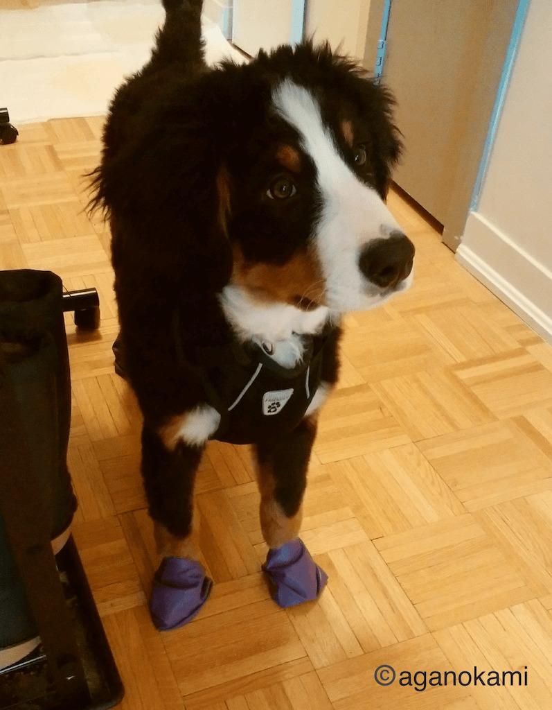 靴を履くバーニーズの子犬