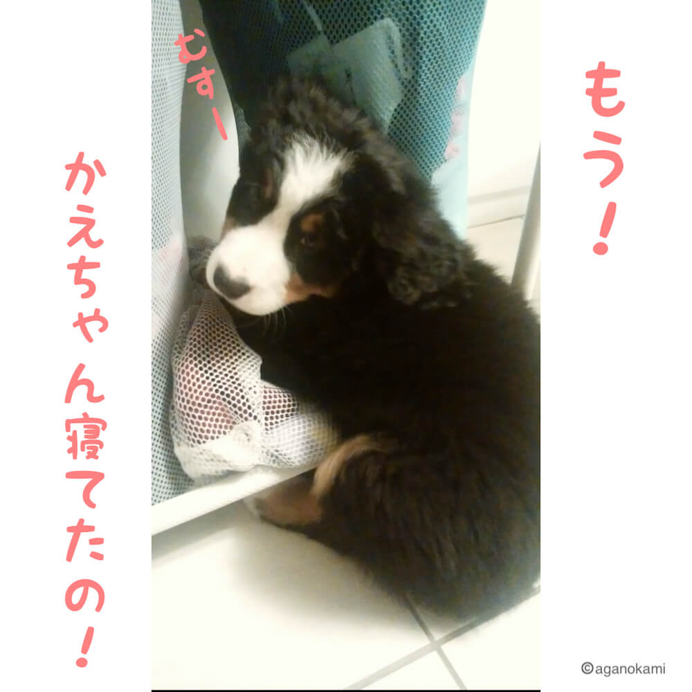 洗濯物カゴで寝る犬